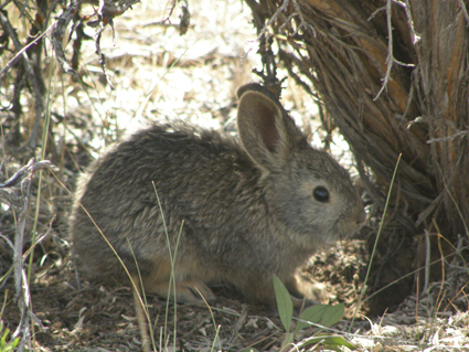 pygmy-rabbit.jpg